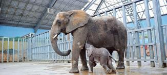 FRA: The baby elephant Rungwe, captive-born through artificial insemination in ZooParc de Beauva